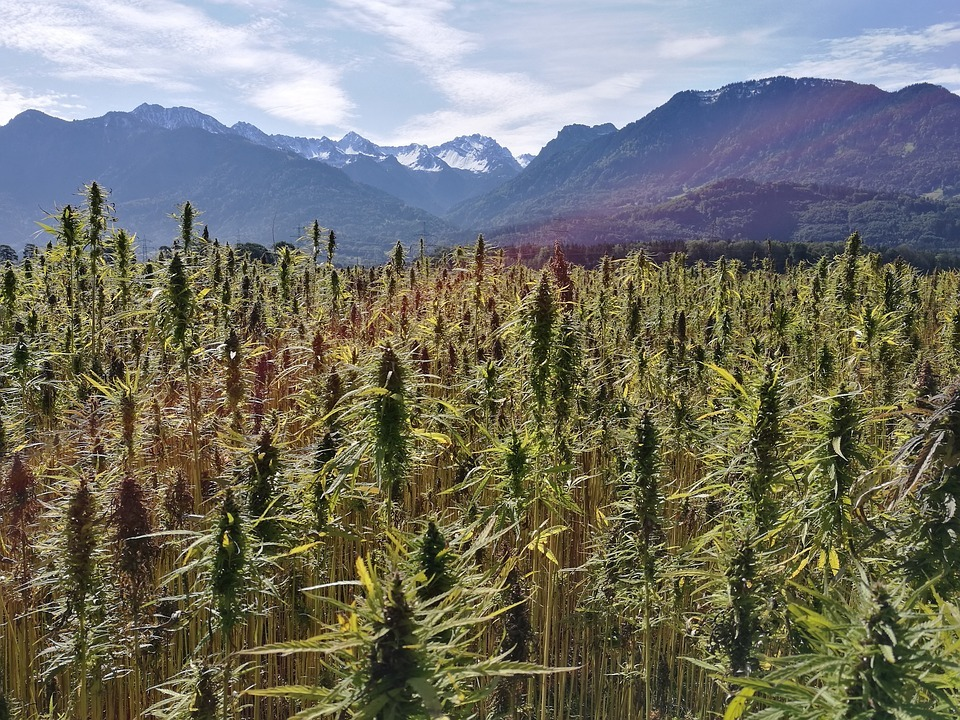 Why DEA's hemp field test can benefit growers