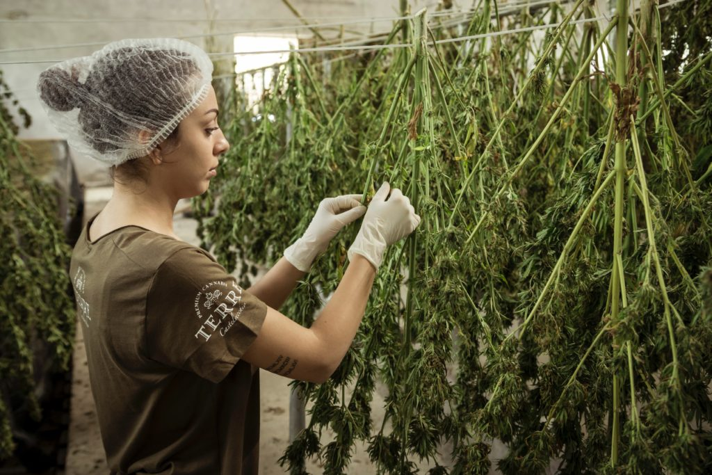 There might not be any planting of cannabis in Russia