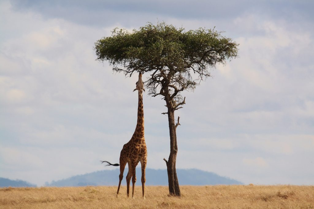 Giraffe looking for cannabis in Africa