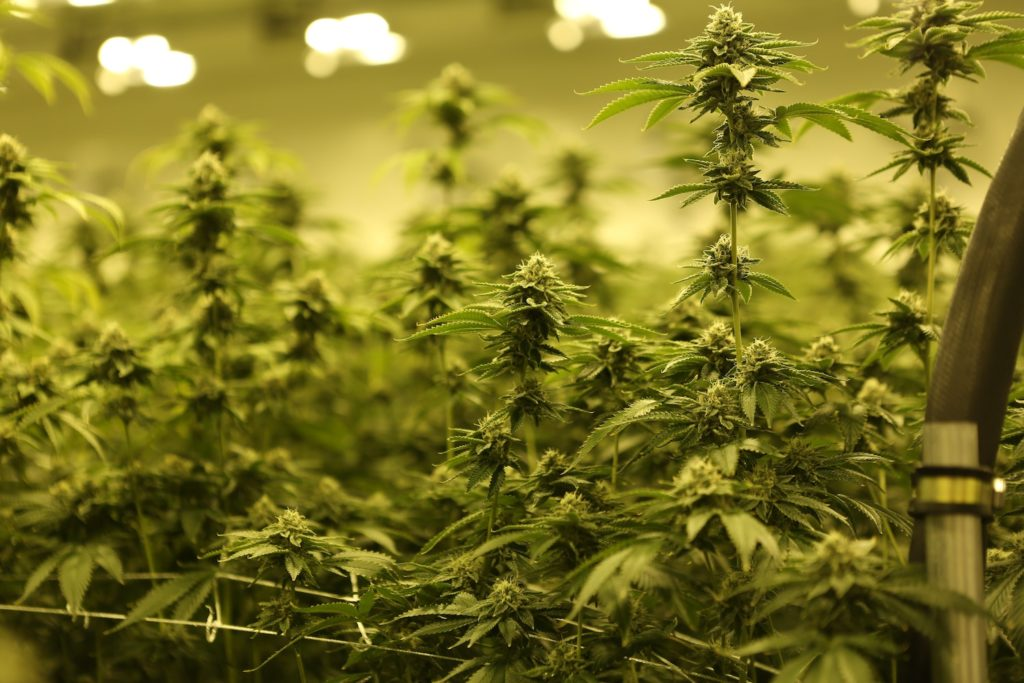 Chubut province will create a company focused on cannabis marketing